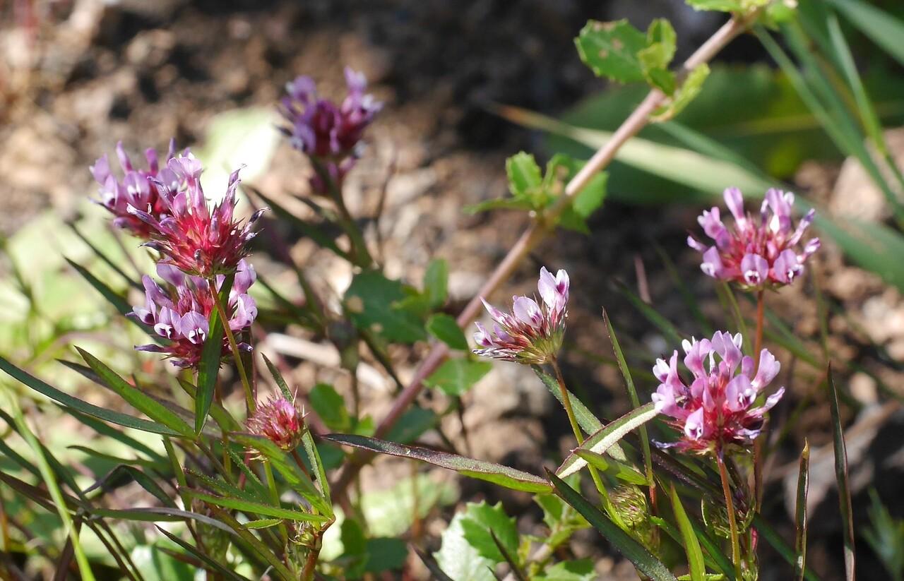 Vivid clover flowers.