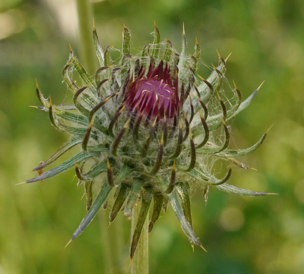 Another thistle flower still opening.