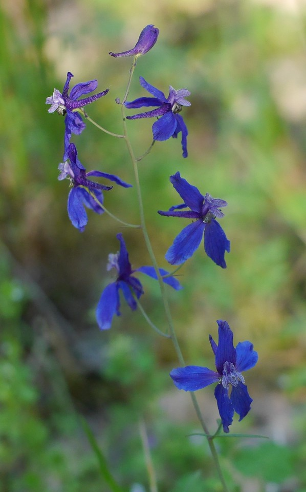 Lesley and another guest walked in a different direction from Brad's route.  This delphinium was a fine reward for independent behavior.