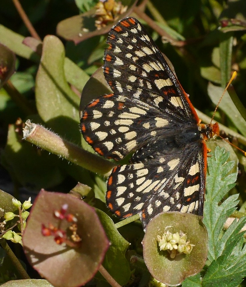 Lesley took pictures of this cooperative checkerspot butterfly.  A good view of the upper surface of the wings.