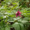 salmonberry (tall shrub)