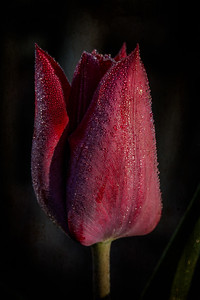 Tulip with dew drops