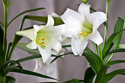 Easter lily, more clarity version.  Which do you like?