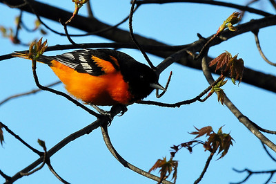 May 4 Baltimore Oriole