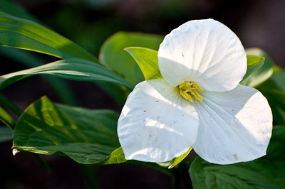 May 16 Early morning light on a white Trillium