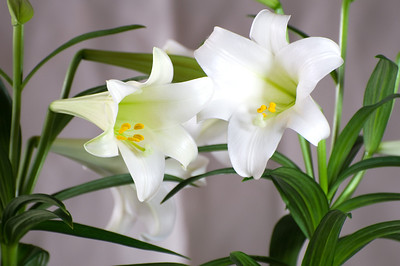 Easter lily, softer version.