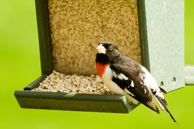 May 10 Red-Breasted Grosbeak caught on camera outside of kitchen.