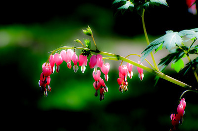 May 16 Bleeding Heart.  Mid morning, great light, cool about 40 degrees.  Photo softened and little black level added.