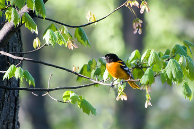 May 16 early morning shot of a Baltimore Oriole who don't stay in one place for long.
