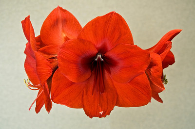 Same photo of the Amaryllis only a little brighter.  Which do you like?