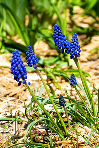 May 4 Grape Hyacinth