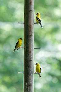 "The ""triumvirate"" goldfinches."