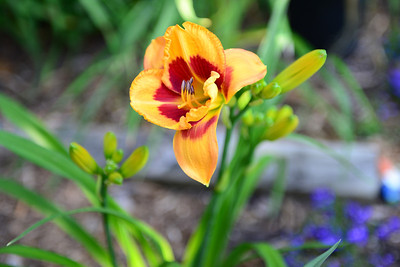 20120619 to 26 Daylilies-122