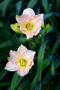 20120619 to 26 Daylilies-120