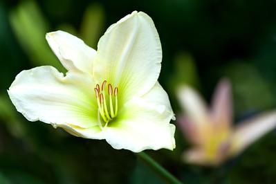 20130720 Daylilies-1803 v2