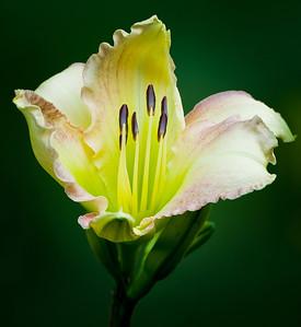 20130720 Daylilies-1772
