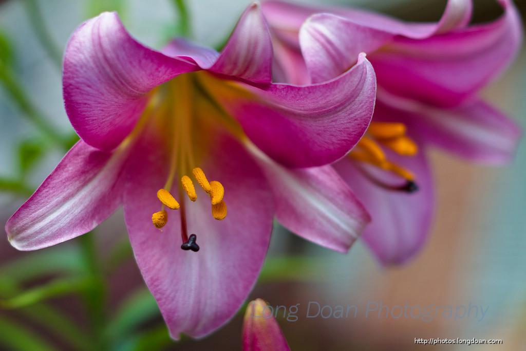 A Tiger Lilies