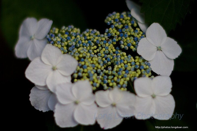 And an anabelle hydrangea