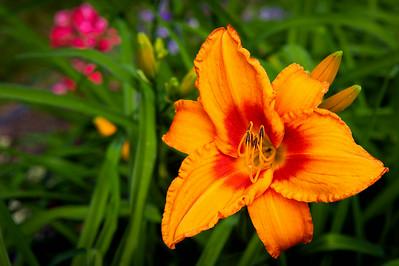 20140706 Daylilies-9721 v2