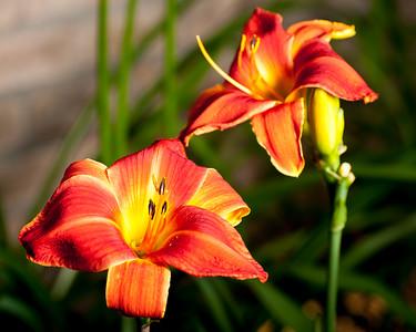 20150710 Daylilies-0676