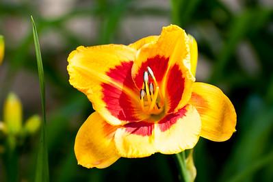 20150710 Daylilies-0693