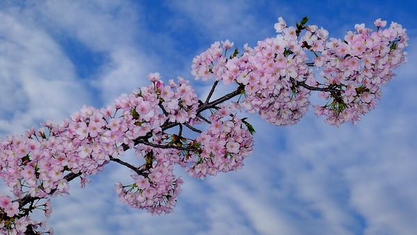 2015_Cherry Blossoms