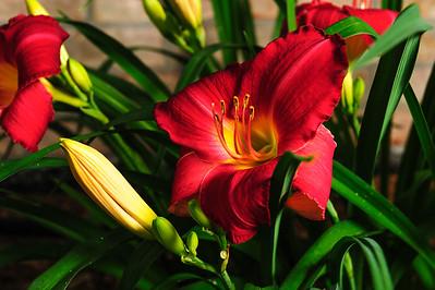 20160622 Daylilies-1296