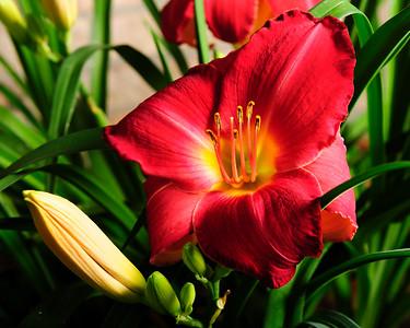 20160622 Daylilies-1303-2