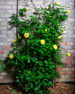 20160612 Roses Tree Shrubs-1150