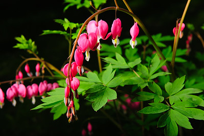 20160517 Bleeding Hearts-0800-2