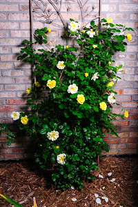 20160612 Roses Tree Shrubs-1143