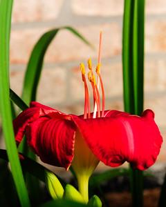 20160622 Daylilies-1314