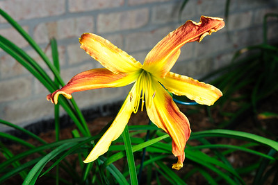 20160730 More Daylilies-2585