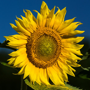 Buttonwood Farm sunflowers 2015