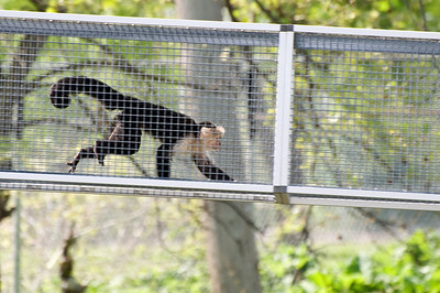 Meanwhile the monkeys are coming out of their indoor cages to visit us.