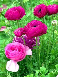 Flower Fields Carlsbad, CA