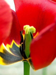 Inside of a Tulip, Chicago