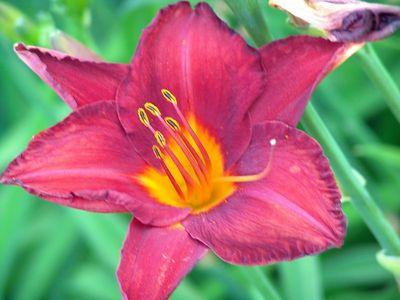 Flower, Lurie Garden, Millennium Park, Chicago
