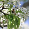 Bumble Bee on an Ornamental Pear Tree