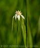 Starrush Whitetop, Rhynchospora colorata, FL (6)