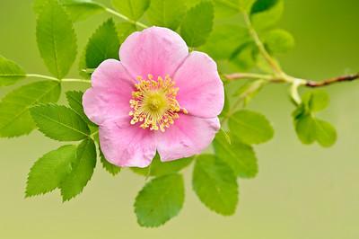 Nootka Rose