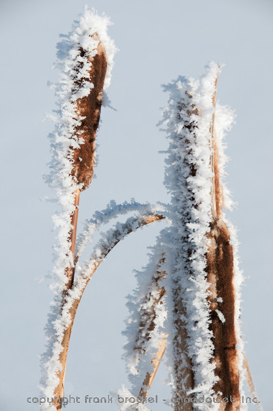 Cat tails in a slew covered by thick hoar frost