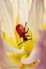 A Flower Beetle (Lemodes coccinea) inside a bloom