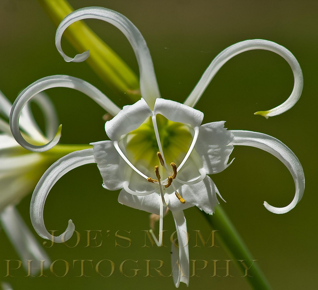 """Peruvian Daffodil""--Odd, elegant but beautiful flower--"