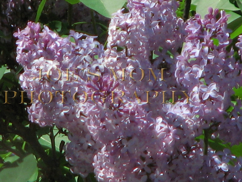 Lilacs I