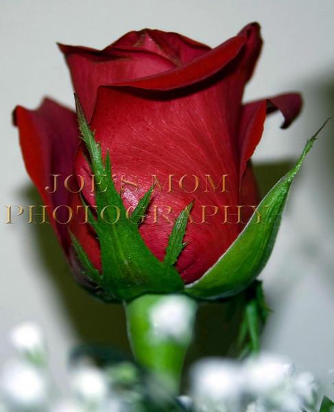Rose Bud II
