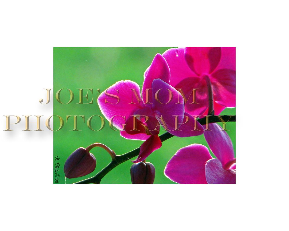 Orchid illuminated