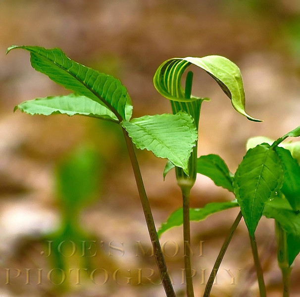 Jack-in -the Pulpit Profile