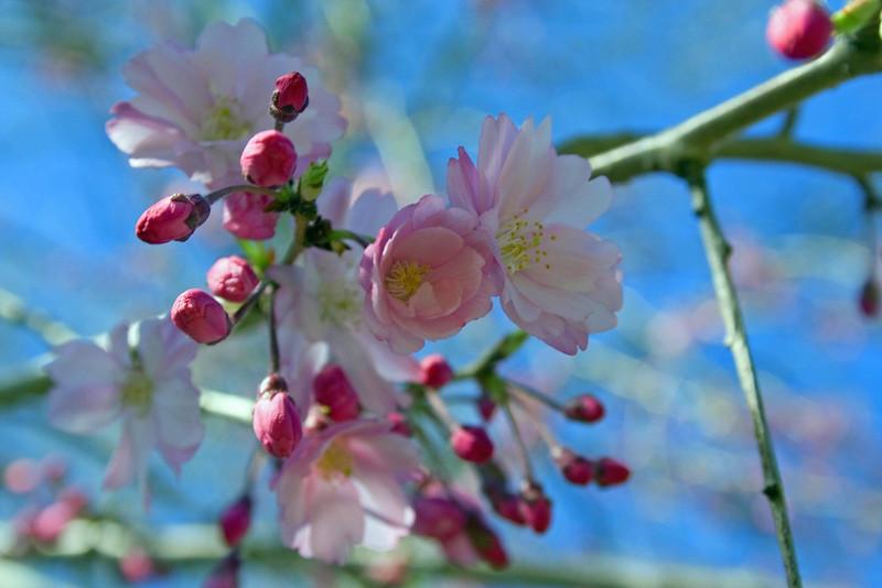 Weeping Cherry Skies