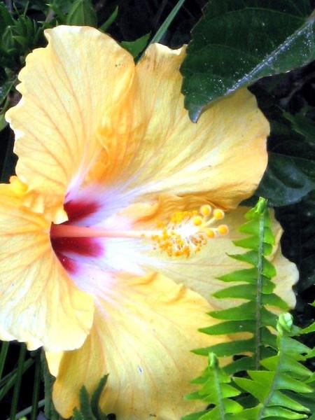 Hibiscus Trumpet